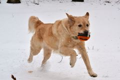 踢橄榄球的金毛猎犬 免版税库存照片