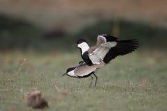 踢马刺飞过的珩科鸟,欧亚田凫类spinosus 库存照片