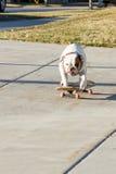 踩滑板的牛头犬在街道上 库存照片