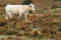 踱步在大草原的温驯的公牛 免版税图库摄影