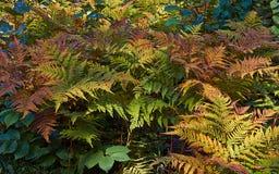 蹄盖蕨属filix费米纳在秋天 免版税库存照片