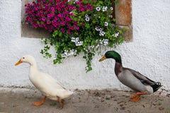 蹒跚地走在房子前面的两只鸭子装饰用桃红色喇叭花 免版税库存图片