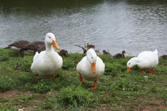 蹒跚地走在草的三只白色鸭子 库存照片