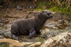 蹒跚地走沿河床的南极海狗小狗 免版税图库摄影