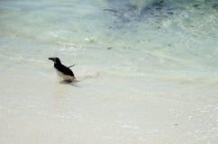 蹒跚地走的企鹅 图库摄影