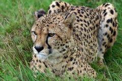 蹲下在草的猎豹 免版税库存图片