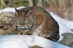 蹲下在雪的美洲野猫 库存图片