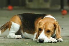 蹲下的小猎犬 库存图片