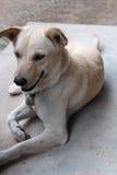 蹲下的泰国狗 库存图片