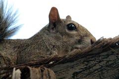 蹲下的灰鼠 免版税库存图片