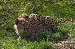 蹲下的猎豹 图库摄影