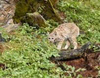 蹲下的野猫 图库摄影