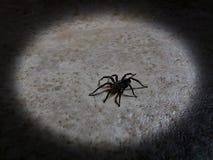 蹲下的黑蜘蛛 免版税库存图片