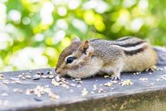 蹲低在有面颊的土气篱芭的逗人喜爱的蓬松花栗鼠 库存图片