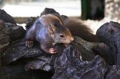 蹲在一个老树干的灰鼠 库存照片