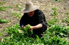 彭州,中国: 收获菠菜的农夫 免版税库存照片