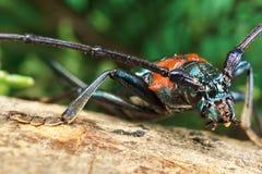身体白种人甲虫口须的宏观先前区域 免版税库存照片