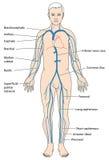 身体的主要静脉 免版税库存图片