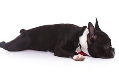 躺下一只疲乏的法国牛头犬的小狗的侧视图 免版税库存照片