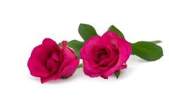 躺下两桃红色的玫瑰 库存照片