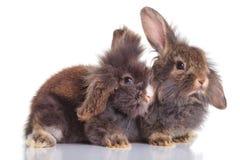 躺下两狮子顶头兔子的bunnys 免版税库存照片