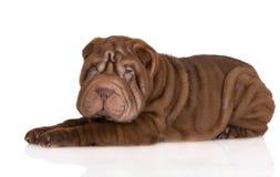 躺下可爱的棕色shar pei的小狗 免版税图库摄影