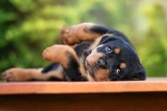 躺下可爱的rottweiler的小狗 库存照片