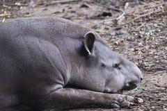 躺下和睡觉在地面上的巴西貘 免版税库存图片