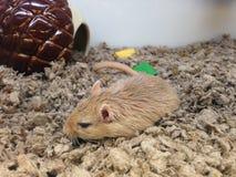 躺下在一只宠物Strore的Gerbillinae在曼哈顿 免版税库存图片