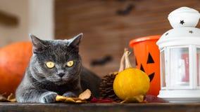 躺下在与万圣夜装饰的一张桌上的华美的灰色猫 库存照片