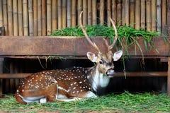 躺下在与饲槽的地板上的Chital鹿背景的 库存照片