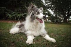 躺下在公园的年长蓝色Merle博德牧羊犬 免版税库存图片