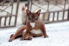 躺下在具体地面上的布朗和白色猫 它是与软的毛皮的一只小被驯化的肉食哺乳动物 免版税图库摄影