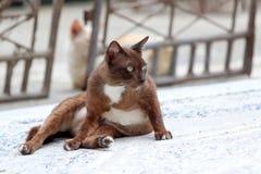 躺下在具体地面上的布朗和白色猫 它是与软的毛皮的一只小被驯化的肉食哺乳动物 库存图片