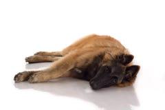 躺下在发光的白色地板上的比利时牧羊人特尔菲伦小狗 免版税图库摄影