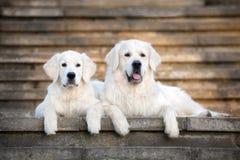 躺下在台阶的两条金毛猎犬狗 免版税库存图片