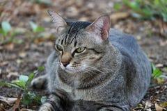 躺下在庭院里的镶边猫 猫是与软的毛皮的一只小被驯化的肉食哺乳动物 库存图片
