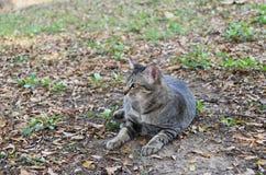 躺下在庭院里的镶边猫 猫是与软的毛皮的一只小被驯化的肉食哺乳动物 免版税库存照片