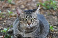 躺下在庭院里的镶边猫 猫是与软的毛皮的一只小被驯化的肉食哺乳动物 免版税图库摄影