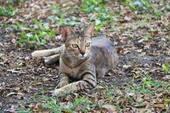 躺下在庭院里的镶边猫 猫是与软的毛皮的一只小被驯化的肉食哺乳动物 库存照片