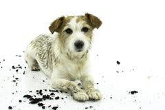 躺下在戏剧以后的肮脏的杰克罗素狗在泥浆坑ISO中 免版税图库摄影
