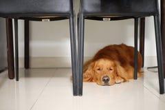躺下在桌下的金毛猎犬狗 免版税库存照片