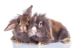 躺下在演播室背景的狮子顶头兔子bunnys 免版税库存照片