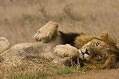 躺下在灌木,克鲁格,南非的野生公狮子画象  免版税图库摄影