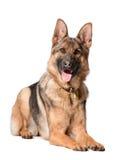 躺下在白色的德国牧羊犬 免版税库存图片