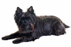 躺下在白色背景中的黑小的狗 免版税库存图片