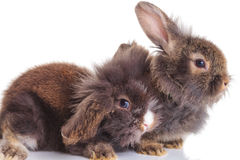 躺下在白色背景的狮子顶头兔子bunnys 免版税库存照片
