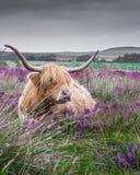 躺下在紫色石南花中的高地母牛 库存图片