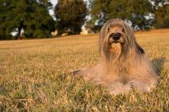 躺下在草的加泰罗尼亚的护羊狗在夏天 免版税库存图片