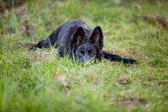 躺下在草的小狗 免版税库存图片